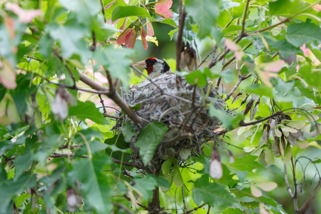 Carduelis carduelis. The nest of the Goldfinch in nature. Russia Stock Photo