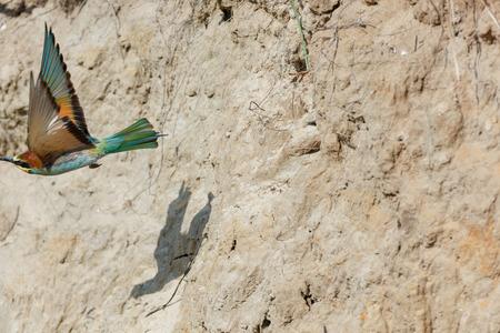 European Bee-eater (Merops apiaster). Russia, the Ryazan region (Ryazanskaya oblast), the Pronsky District, Denisovo. Foto de archivo - 115917794