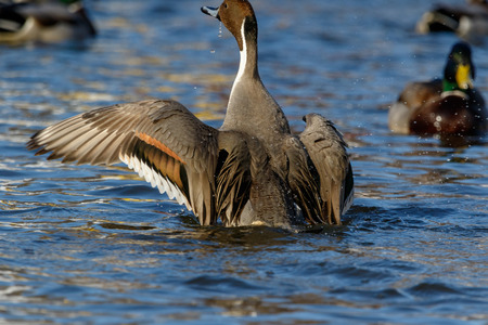 Northern Pintail (Anas acuta). Russia, Moscow