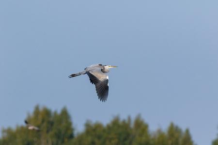Grey Heron (Ardea cinerea). Russia
