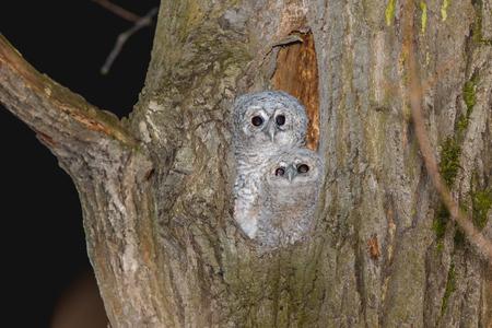 Tawny Owl (Strix aluco). Moscow
