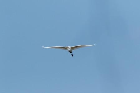 Great White Egret (Egretta alba, Casmerodius albus). Russia