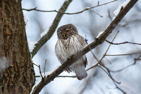 Pygmy Owl (Glaucidium passerinum). Russia,  Moscow. 免版税图像