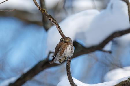 Pygmy Owl (Glaucidium passerinum). Russia,  Moscow. Stockfoto