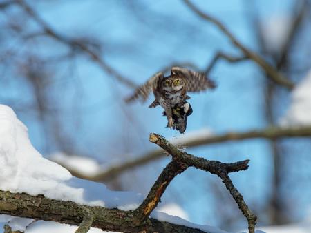 Pygmy Owl (Glaucidium passerinum). Russia,  Moscow. Stock Photo