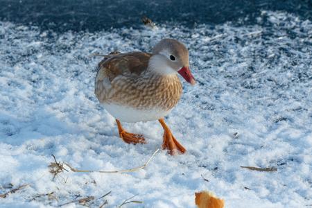 Mandarin Duck (Aix galericulata). Russia, Moscow.
