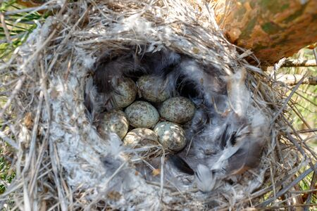 Lanius excubitor. The nest of the Great Grey Shrike in nature. Russia, the Ryazan region 스톡 콘텐츠