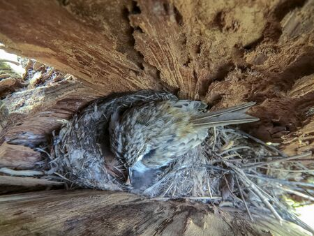 Certhia familiaris. The nest of the Tree Creeper in nature. Russia