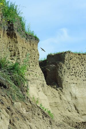 burrows: A colony of swallows