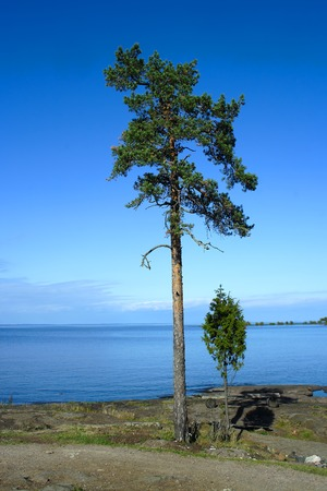 Valaam island, pine trees on the shore of lake Ladoga photo