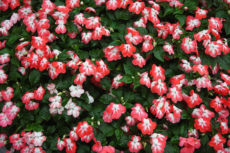 balsam: Red-white flowers balsam in the rain Stock Photo