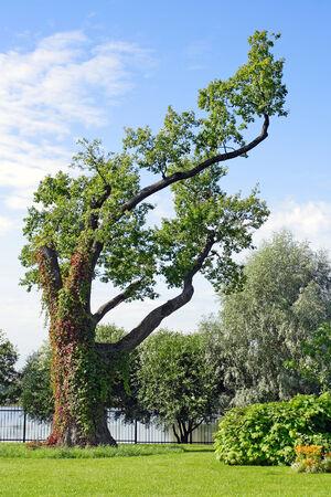olgas: The old picturesque oak at Olgas island in Kolonistskiy Park in Peterhof