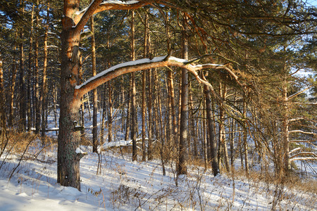 siberian pine: Pine forest on the shore of the Siberian river Tom, lighted low winter sun