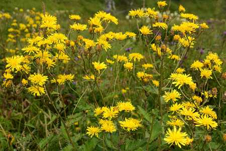 arvensis: Beautiful yellow flowers of the weed Sonchus arvensis Stock Photo