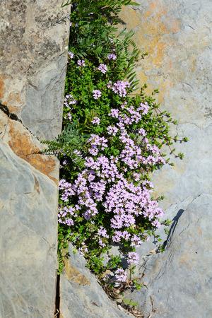 thymus: Growing on the rocks creeping thyme (thymus serpyllum)