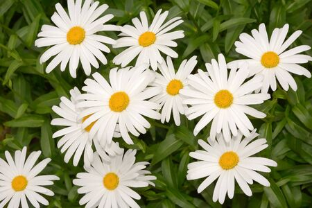 flower bed: A flower bed with ornamental flowers of garden chamomile