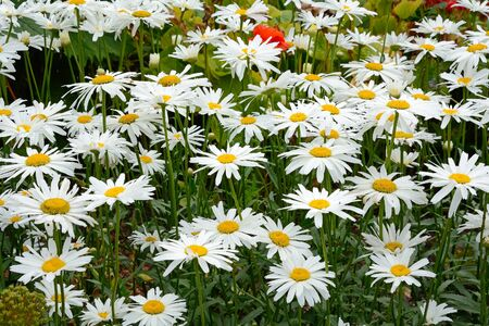 shasta daisy: Decorative flowers of a gorgeous plant in the garden Stock Photo