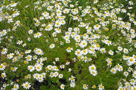 matricaria: Flowering wild Matricaria recutita on the meadow in Western Siberia Stock Photo