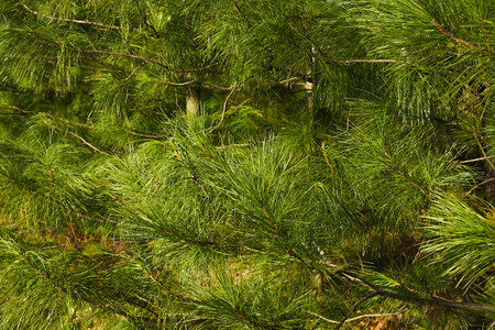 siberian pine: The background from the twigs and needles of the Siberian cedar pine (Pinus sibirica) Stock Photo