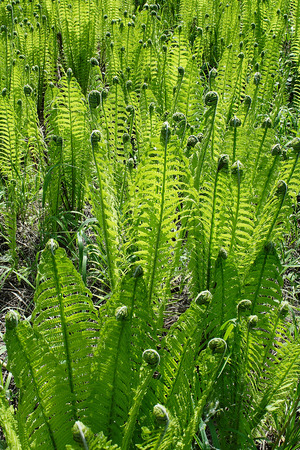 Densely growing young spring ferns Matteuccia struthiopteris
