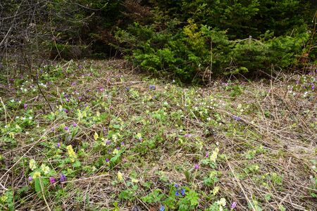mollis: Wild primroses: Erythronium sibiricum, Anemone altaica, Corydalis bracteata and Pulmonaria mollis under the canopy of the Siberian taiga immediately after disappearance of the snow cover