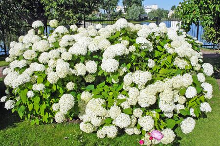 ornamental shrub: Ornamental shrub hydrangeas, blooming beautiful white flowers