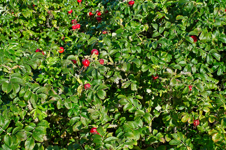 briar bush: Abstract background - green leaves and red berries dogrose