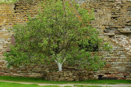 ulyanov: The Apple-tree and a memorial plaque at the place of execution of Alexander Ulyanov in Schlisselburg fortress Stock Photo