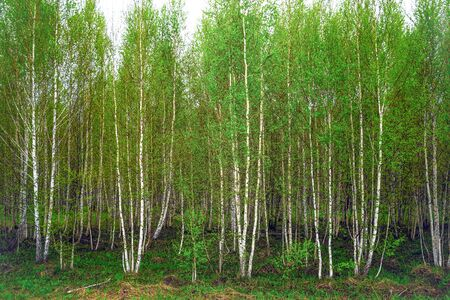 Spring in Siberia, a grove of young birch trees with fresh foliage