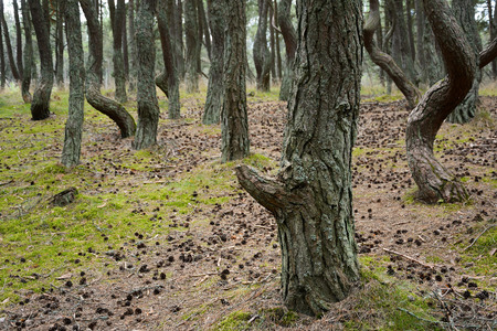 Pine forest with curved trunks called