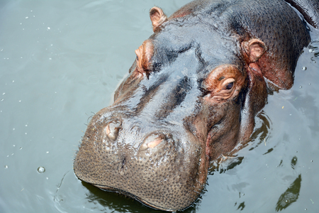 The head of a hippopotamus close-up in the pool of the zoo