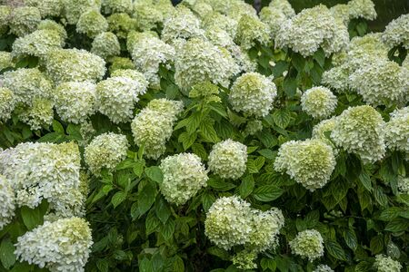 Flowering Bush white hydrangea paniculata in early autumn