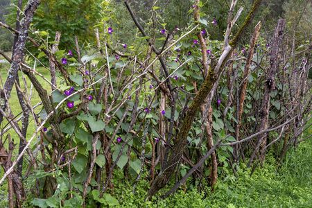 Purple bindweed on a support in the form of a wattle in cloudy weather in early autumn Imagens