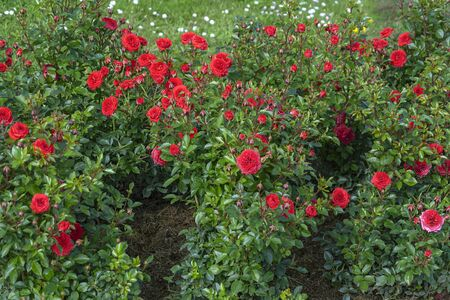 Luxuriously blooming red rose bushes in the middle of summer