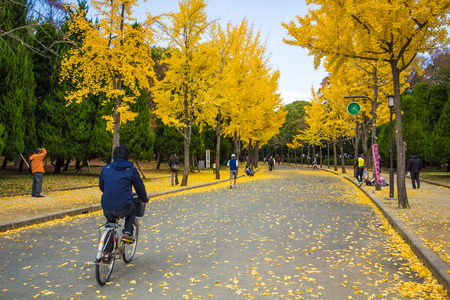 beuty of nature: The ginkgo trees at Osaka , Japan Editorial