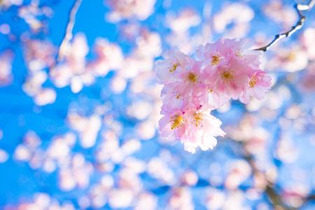 Cherry blossom with blue nice sky in Kuekenhof, Amsterdam, Netherlands.