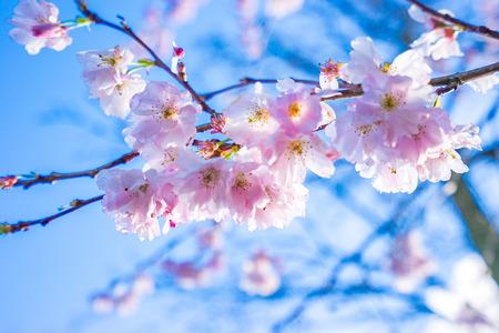 Fleur de cerisier avec un beau ciel bleu à Kuekenhof à Amsterdam, Pays-Bas.