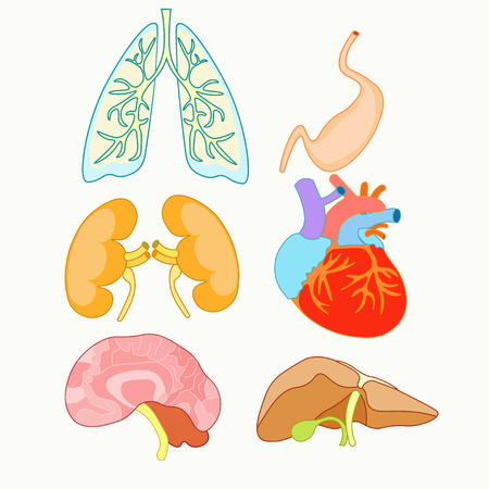 set of human organs heart, lungs, liver, kidneys, and brain vector illustration Illustration