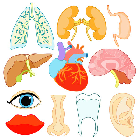 set of organs within the human body and face vector illustration