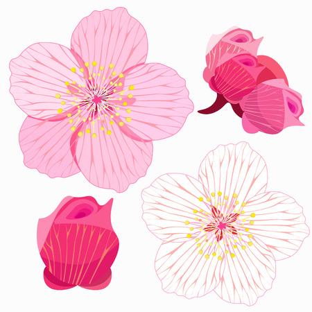 stamens: set of Sakura is blossom and bud vector illustration Illustration
