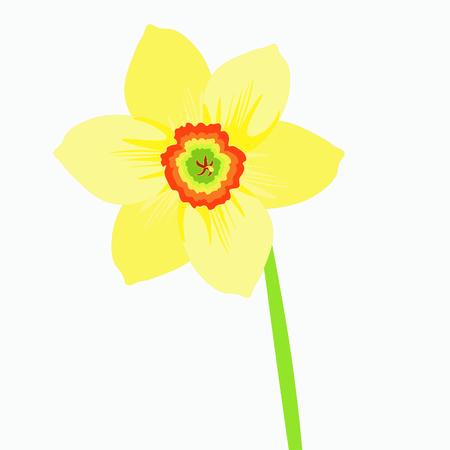 single a narcissus flower on a stalk vector illustration