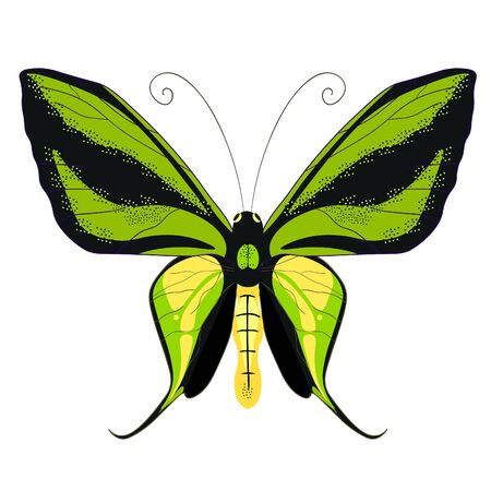 goliath: Ornithoptera paradisea, butterfly wings of a bird of paradise vector illustration