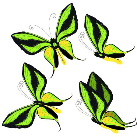 goliath: set Ornithoptera paradisea, butterfly wings of a bird of paradise vector illustration Illustration