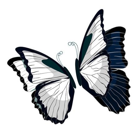 morpho: morpho butterfliese butterfly monarch black and white  vector illustration Illustration