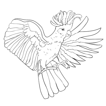 Isolated illustration of Cockatoo white wings flying  coloring Vector illustration Ilustração