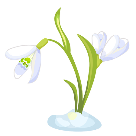 Snowdrop flower blossomed with leaves Vector illustration