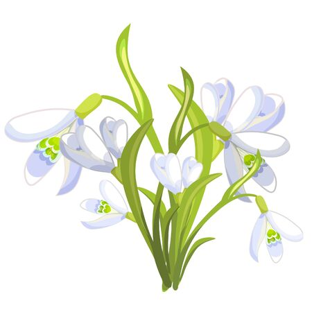 gently: Snowdrop flowers  blossomed with leaves Vector illustration Illustration