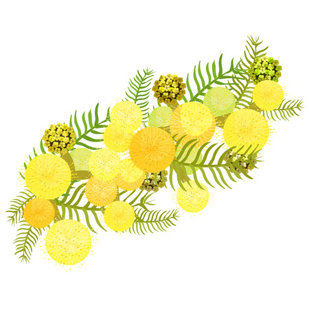 Branch of mimosa acacia silvery whitened family of legumes Vector illustration