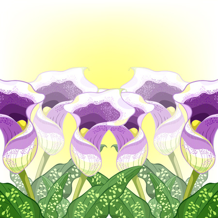 calla Picasso of flower purple at the sunset Vector illustration