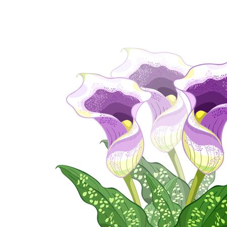 corner calla Picasso of flower purple Vector illustration Illustration